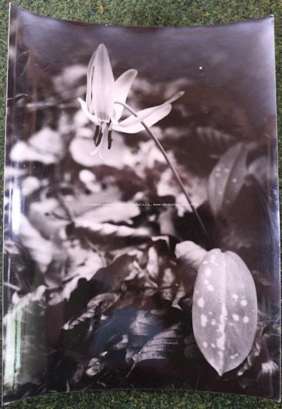Zdenko Feyfar - Květina