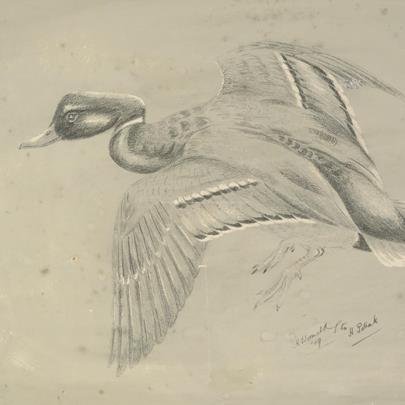 Hugo Wormald - Kachna v letu